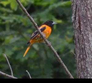 Canterbury 4H birding 38 Oriole